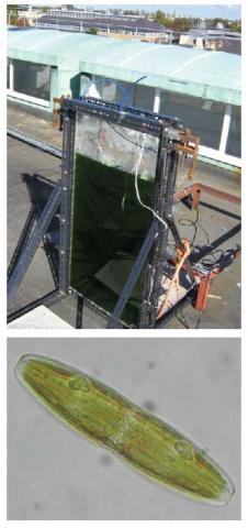algal growth