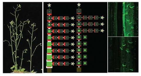 Computational model of branch production for plants with low (left) or high (right) levels of the hormone strigolactone. Green indicates auxin levels,