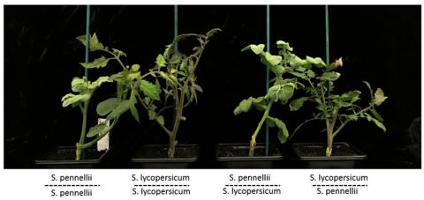 Two tomato species grafted together