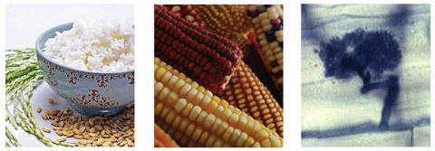 rice, maize etc