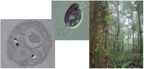 TEM and confocal image of Chlamydomonas  reinhardtii with prominent pyrenoid in centre of chloroplast; upper montane rainforest with epiphytes in Trinidad.