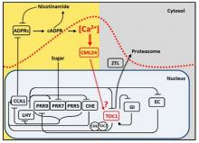 The role of Ca2+ in regulation of the circadian oscillator Reproduced from Marti et al., 2018 Nature Plants 4, 690-698