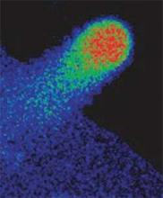 False colour mapping shows hotspots of cytosolic free calcium in Arabidopsis root hair and guard cells