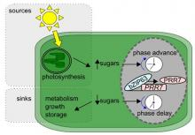 Dynamical plasticity of the circadian clock in response to changes in the sugar status of the plant. Reproduce from Frank et al., 2018 Current Biology 28, 2597-2609