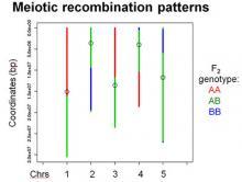meiotic recombination patterns