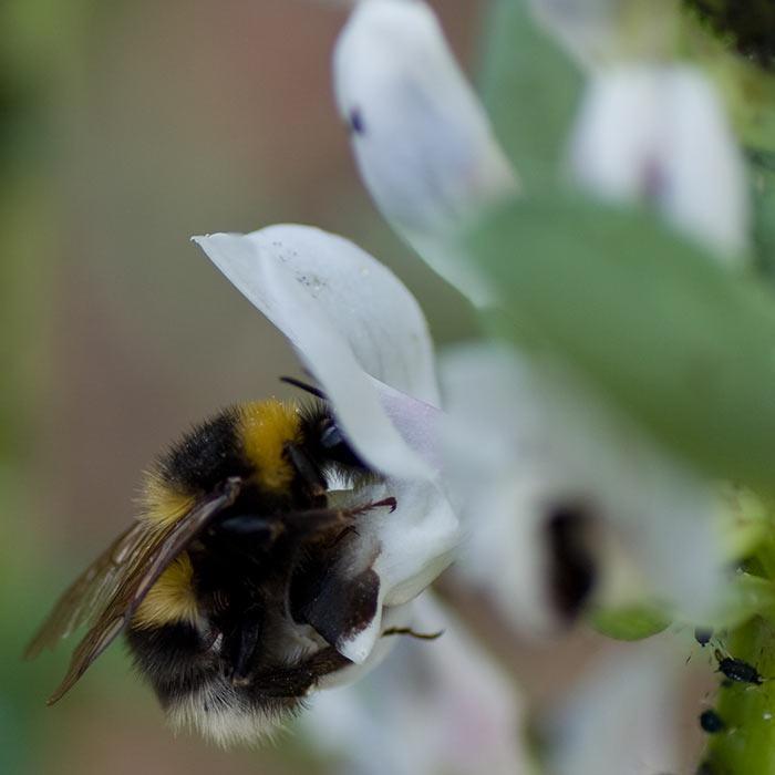 Breeding pollinator-friendly crops for the future