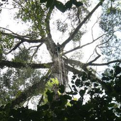 Airborne Laser Scanning finds the tallest tree yet discovered in the Tropics
