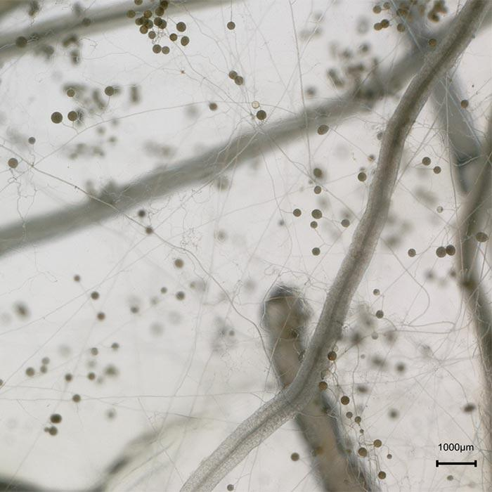 Plant Receptor-Like Kinase controls completion of fungal life cycle in symbiosis