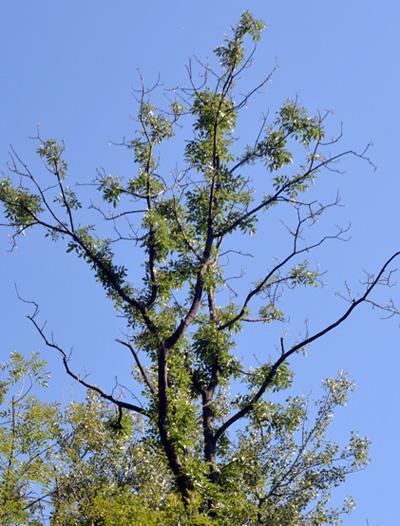 Bioscience boost to battle ash dieback